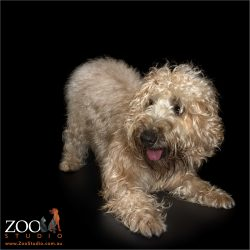 doga wheaten terrier