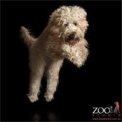 leaping wheaten terrier