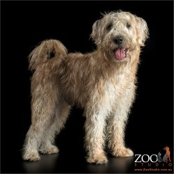 standing soft coated wheaten terrier