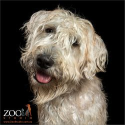 adorable wheaten terrier