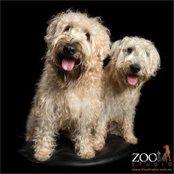 pair soft coated wheaten terriers