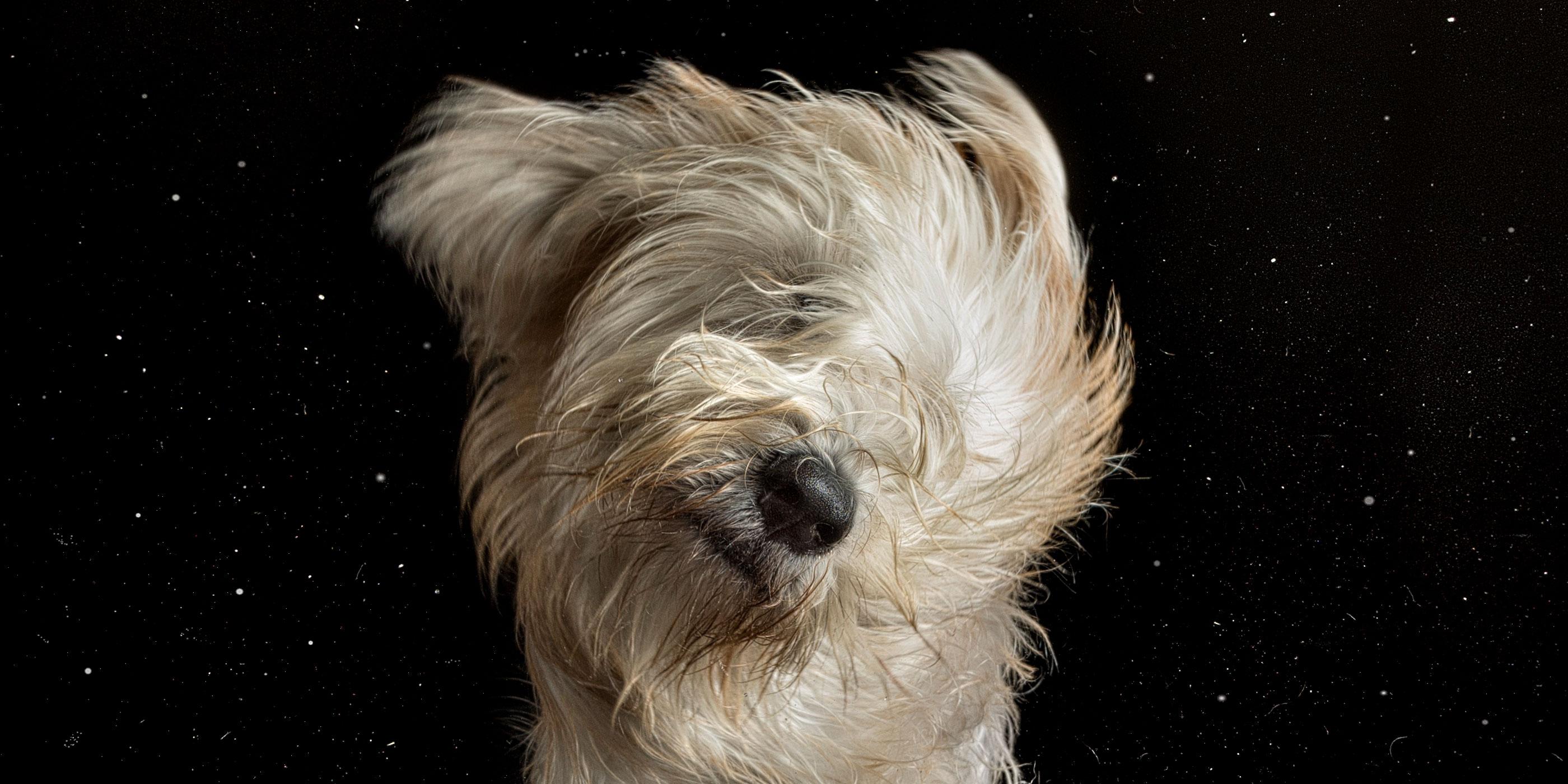 booty shake wheaten terrier