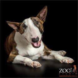 smiling Bull Terrier
