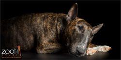 Snoozing Bull Terrier