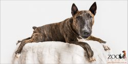 lounging Bull Terrier