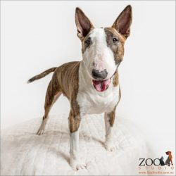 alert Bull Terrier