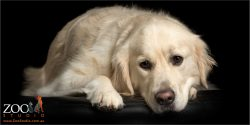 sweet faced reclining golden retriever