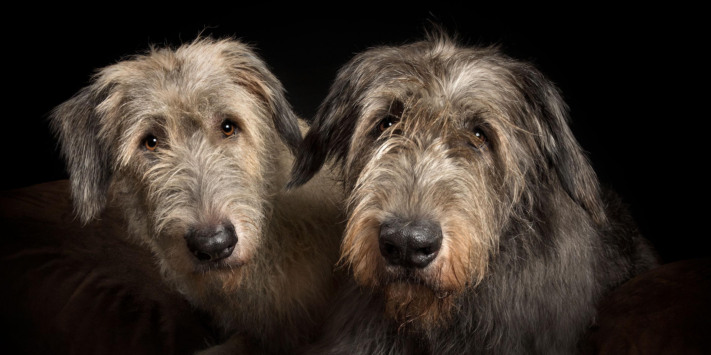 pair of brindle irish wolfhounds