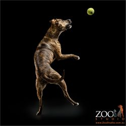 leaping for ball staffy cross