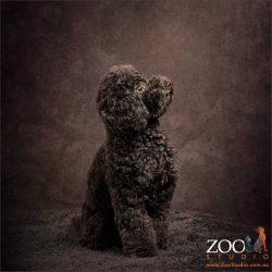 sitting black mini poodle
