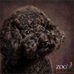 profile black mini poodle