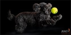 leaping with ball poodle