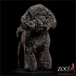 teddy bear face miniature poodle