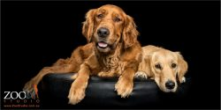 relaxed Golden Retrievers