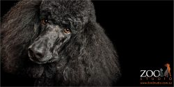 appealing standard black poodle