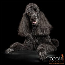 long eared black poodle