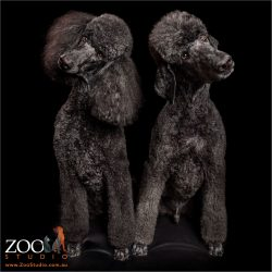 sibling black poodles