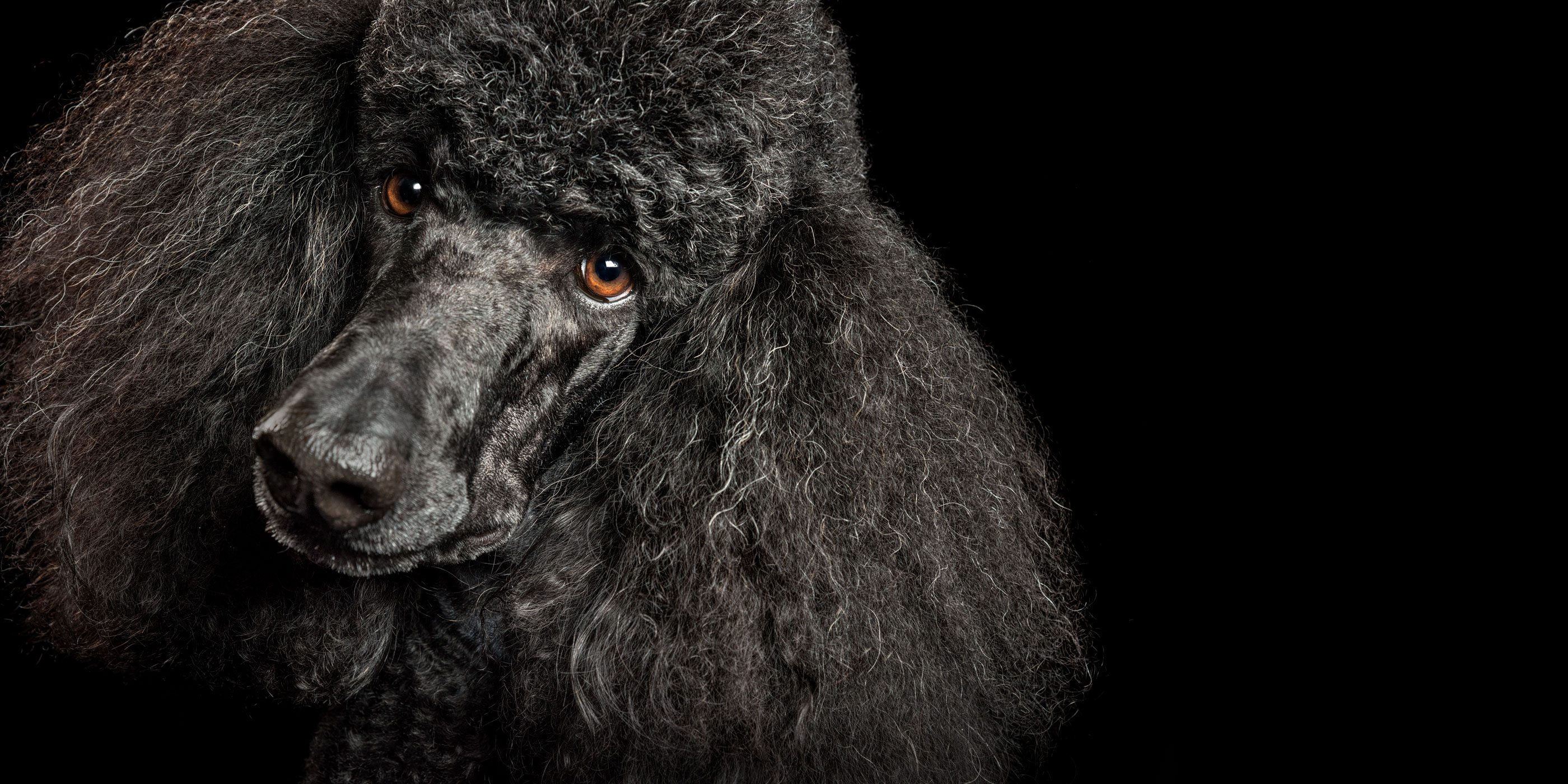 face close up poodle