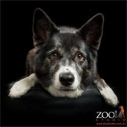 loving expressive eyes border collie/husky