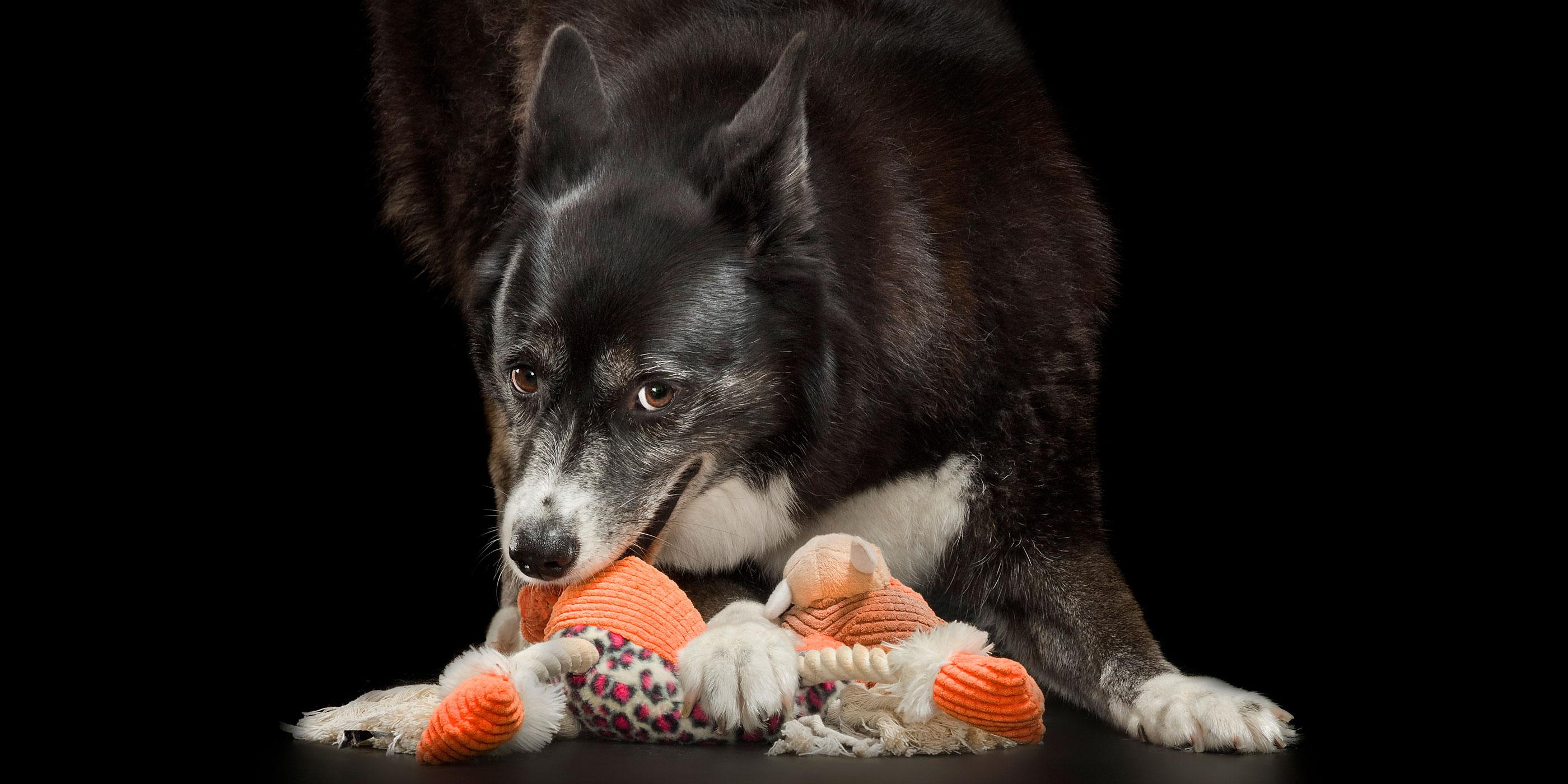 tug toy game border collie/husky
