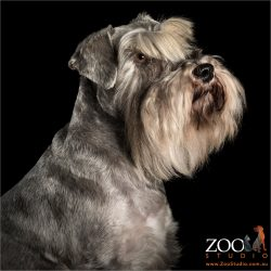 bearded champion mini schnauzer profile