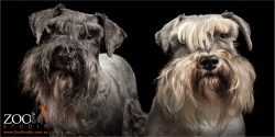 salt & pepper and black pair of schnauzers