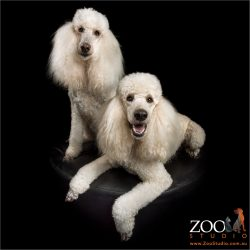 pair white standard poodles