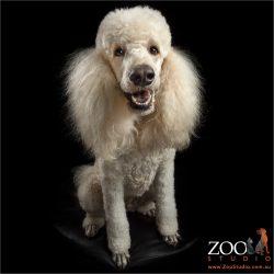 sitting standard poodle