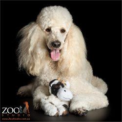 cuddle cow standard poodle