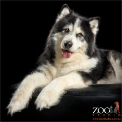 regal Alaskan Malamute