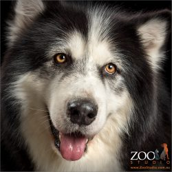 brown eyed Alaskan Malamute