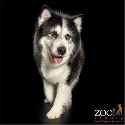 Walking Alaskan Malamute