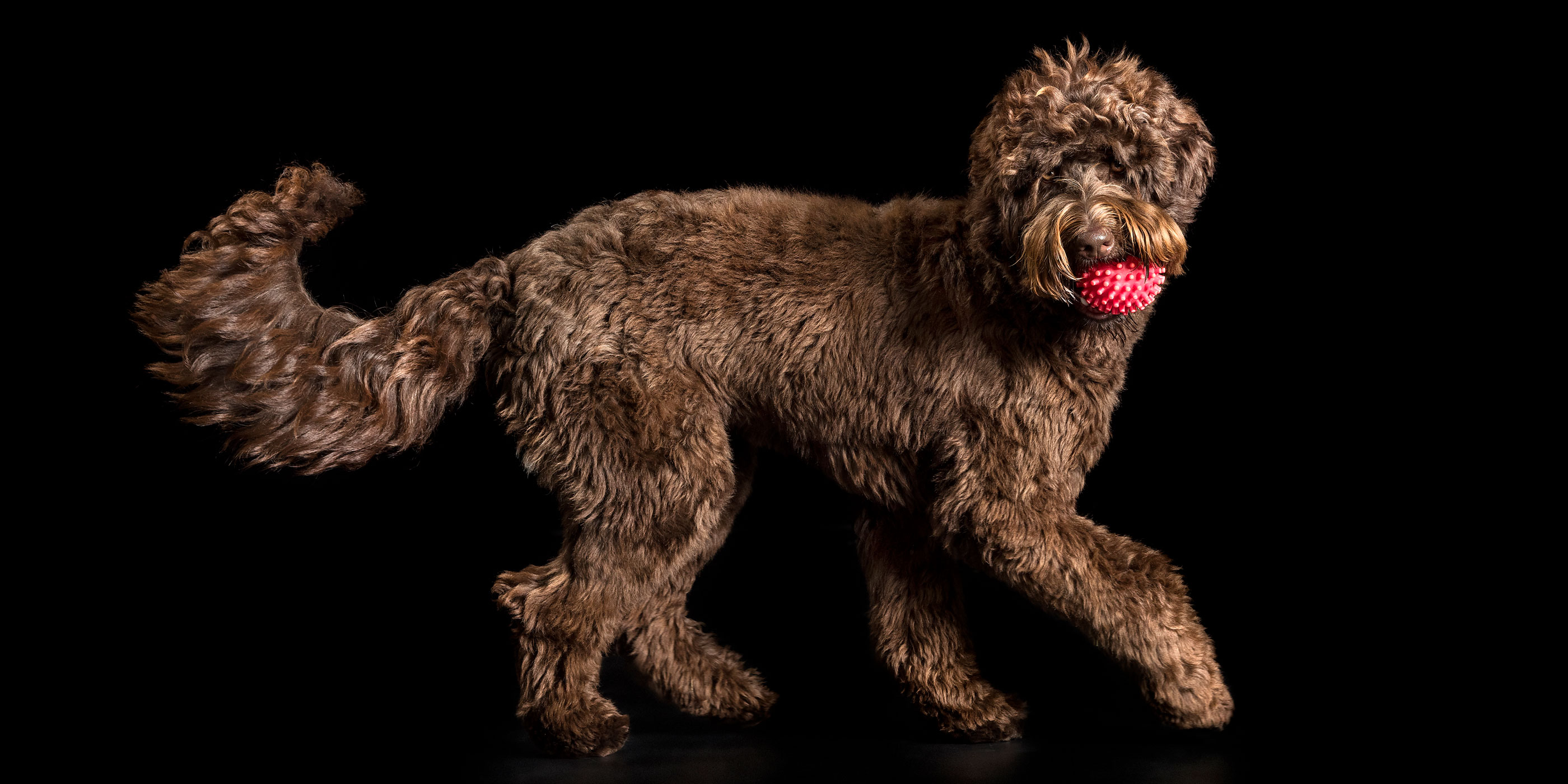 pink ball in labradoodle's mouth