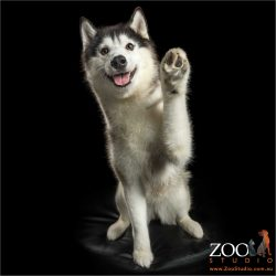 paws up high 5 husky