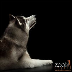 moon gazing husky profile