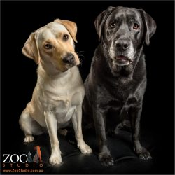 pair of labradors