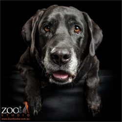 grey muzzled labrador