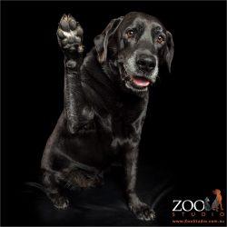 Paws up labrador