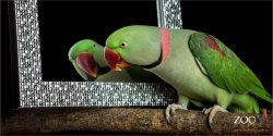mirror gazing green pink and black alexandriine parrot