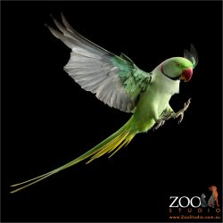 full flight alexandrine parrot