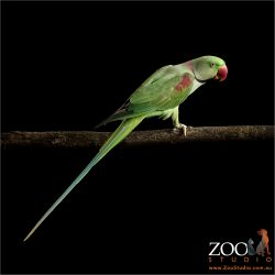 long tailed alexandrine parrot