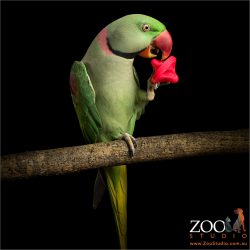 playing with foot toy alexandrine parrot