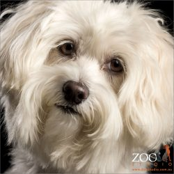 long lashed white Maltese face