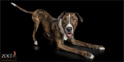 doga postion catahoula bull arab cross