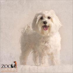 Standing fluffy white Maltese