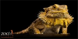 standing golden bearded dragon