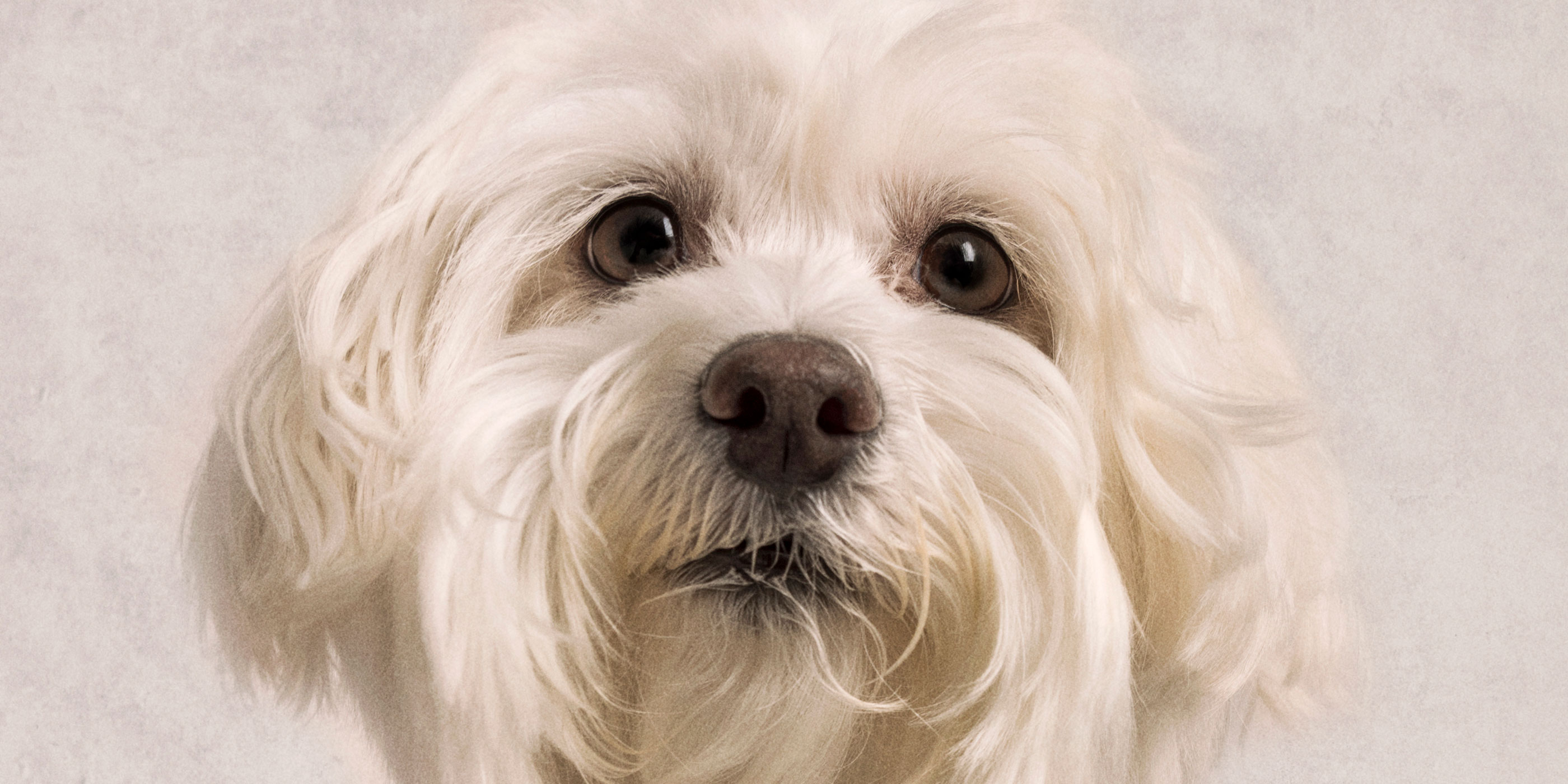 full face white Maltese