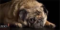 close up fawn pug face
