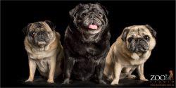 three pug siblings