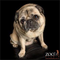 sitting pawn pug